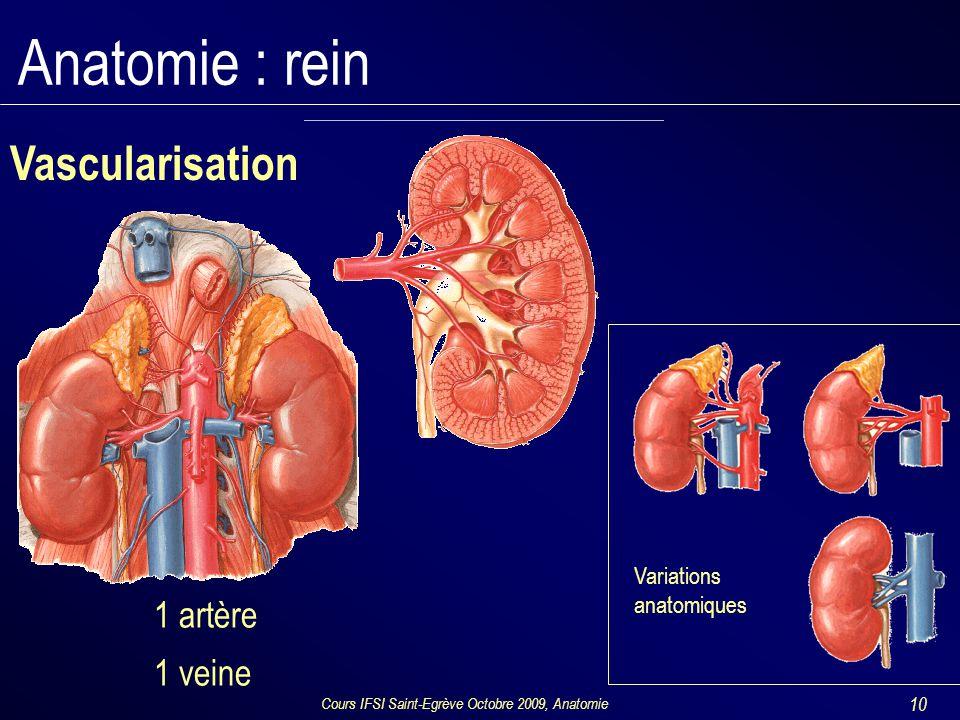 Cours IFSI Saint-Egrève Octobre 2009, Anatomie 10 Anatomie : rein Vascularisation Variations anatomiques 1 artère 1 veine