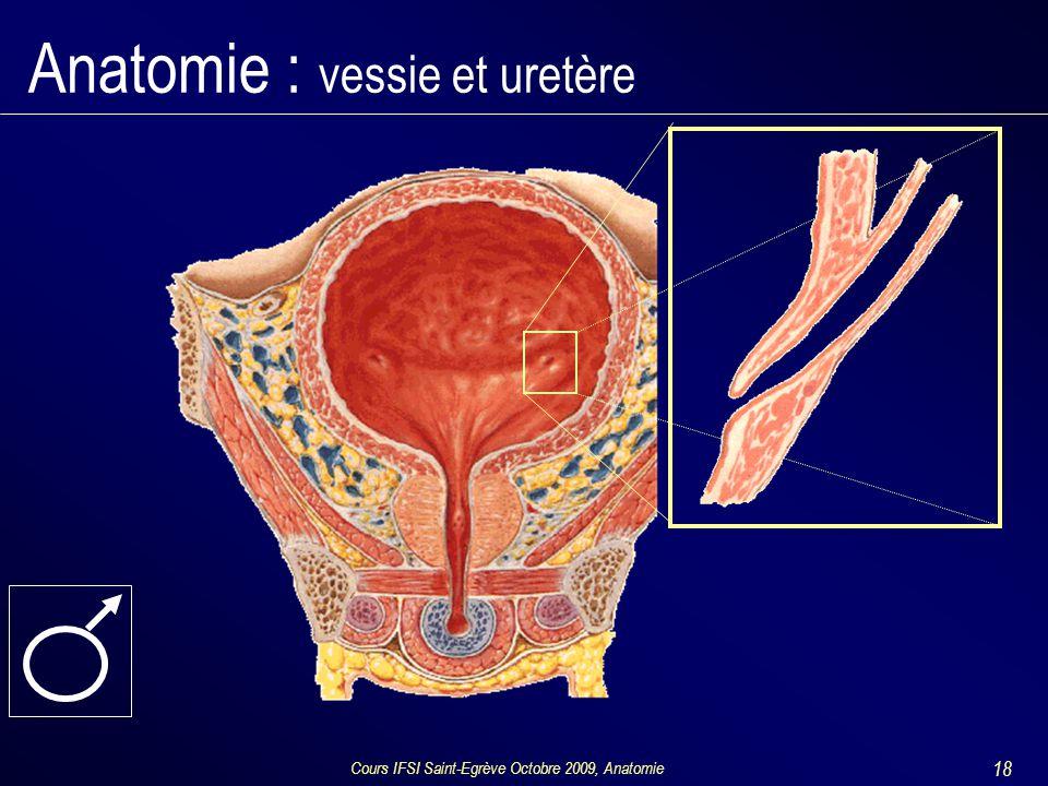 Cours IFSI Saint-Egrève Octobre 2009, Anatomie 18 Anatomie : vessie et uretère