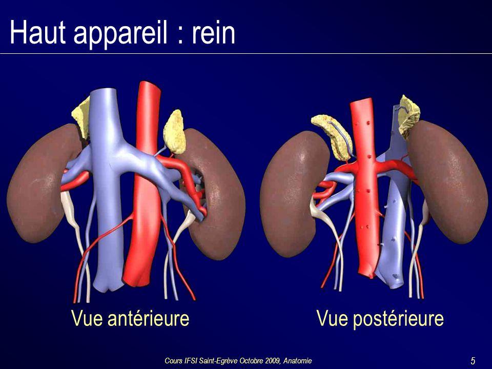 Cours IFSI Saint-Egrève Octobre 2009, Anatomie 5 Haut appareil : rein Vue antérieureVue postérieure