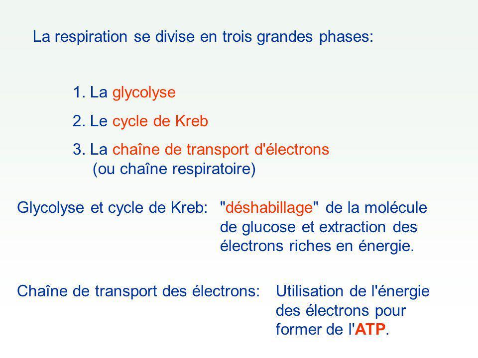 La respiration se divise en trois grandes phases: 1. La glycolyse 2. Le cycle de Kreb 3. La chaîne de transport d'électrons (ou chaîne respiratoire) G