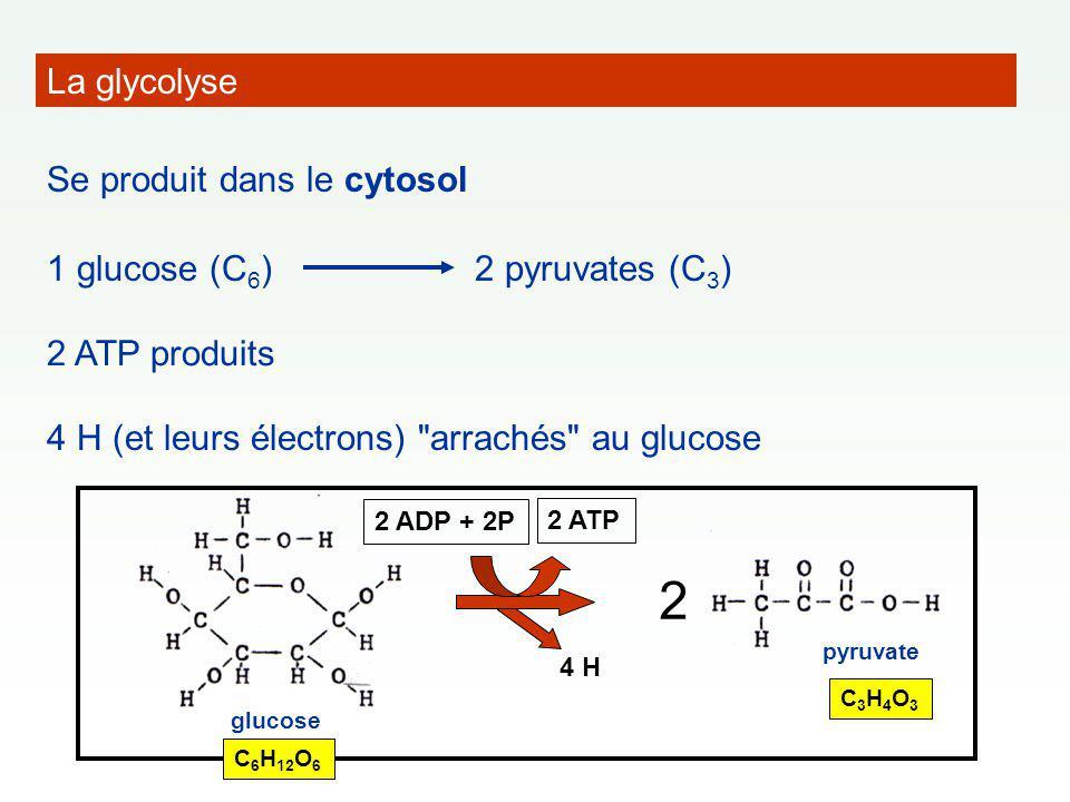 La glycolyse Se produit dans le cytosol 1 glucose (C 6 )2 pyruvates (C 3 ) 2 ATP produits 4 H (et leurs électrons) arrachés au glucose 2 glucose pyruvate C 6 H 12 O 6 C3H4O3C3H4O3 4 H 2 ADP + 2P 2 ATP
