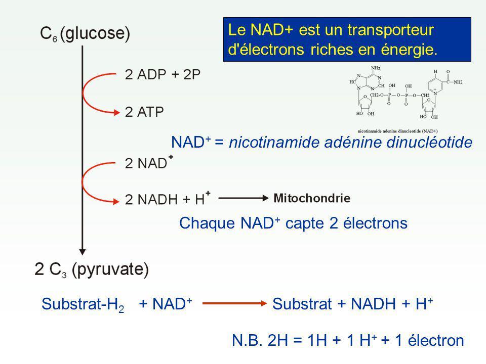 N.B. 2H = 1H + 1 H + + 1 électron Substrat-H 2 + NAD + Substrat + NADH + H + Le NAD+ est un transporteur d'électrons riches en énergie. NAD + = nicoti