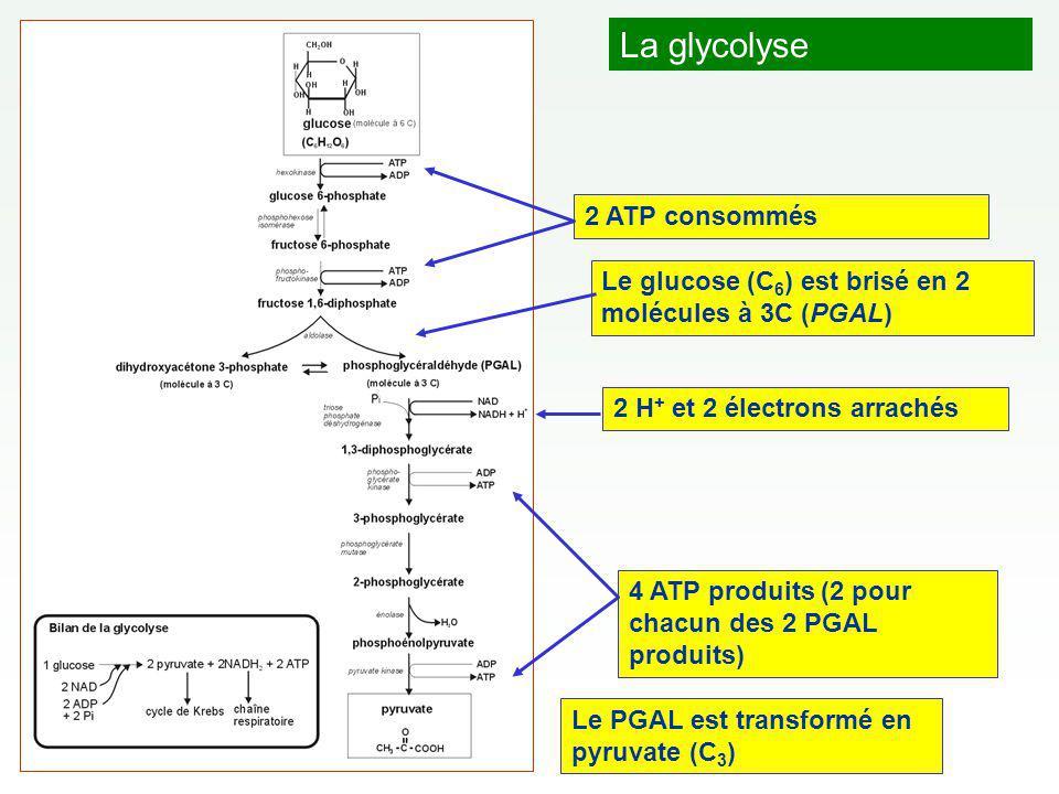 La glycolyse 2 H + et 2 électrons arrachés 4 ATP produits (2 pour chacun des 2 PGAL produits) 2 ATP consommés Le glucose (C 6 ) est brisé en 2 molécules à 3C (PGAL) Le PGAL est transformé en pyruvate (C 3 )
