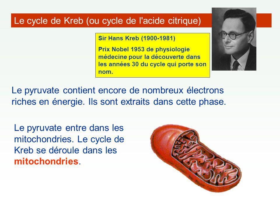 Le cycle de Kreb (ou cycle de l'acide citrique) Le pyruvate contient encore de nombreux électrons riches en énergie. Ils sont extraits dans cette phas