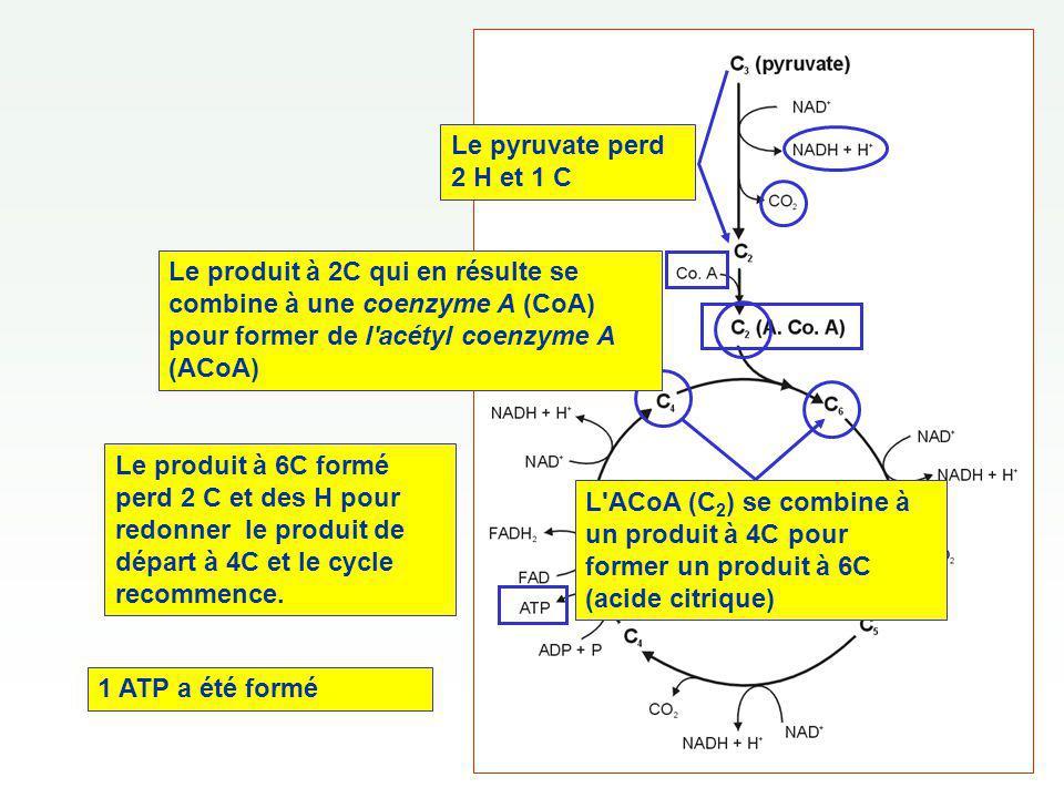 Le produit à 6C formé perd 2 C et des H pour redonner le produit de départ à 4C et le cycle recommence. L'ACoA (C 2 ) se combine à un produit à 4C pou