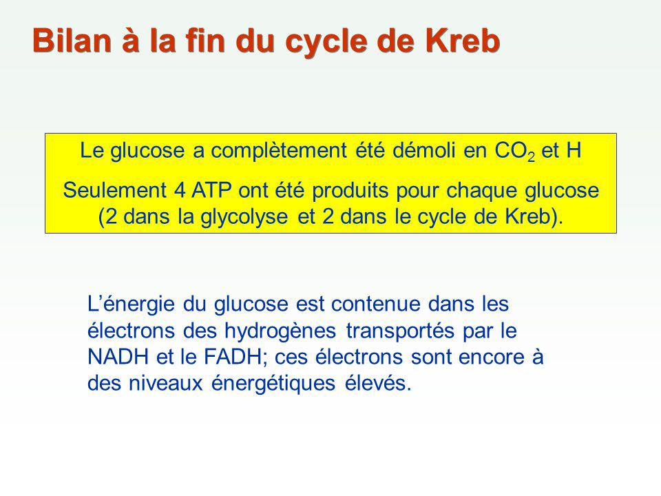 Bilan à la fin du cycle de Kreb Le glucose a complètement été démoli en CO 2 et H Seulement 4 ATP ont été produits pour chaque glucose (2 dans la glycolyse et 2 dans le cycle de Kreb).