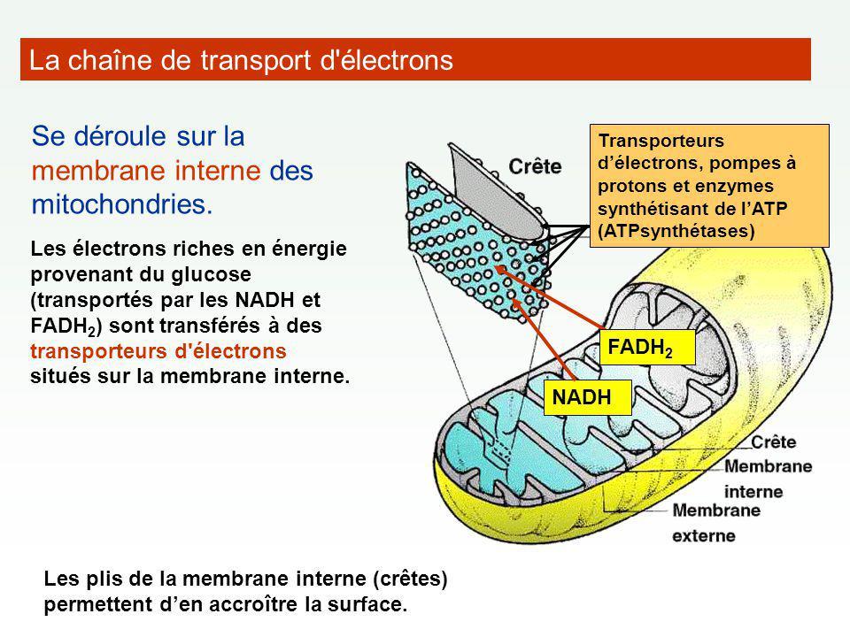 La chaîne de transport d'électrons Se déroule sur la membrane interne des mitochondries. Les électrons riches en énergie provenant du glucose (transpo
