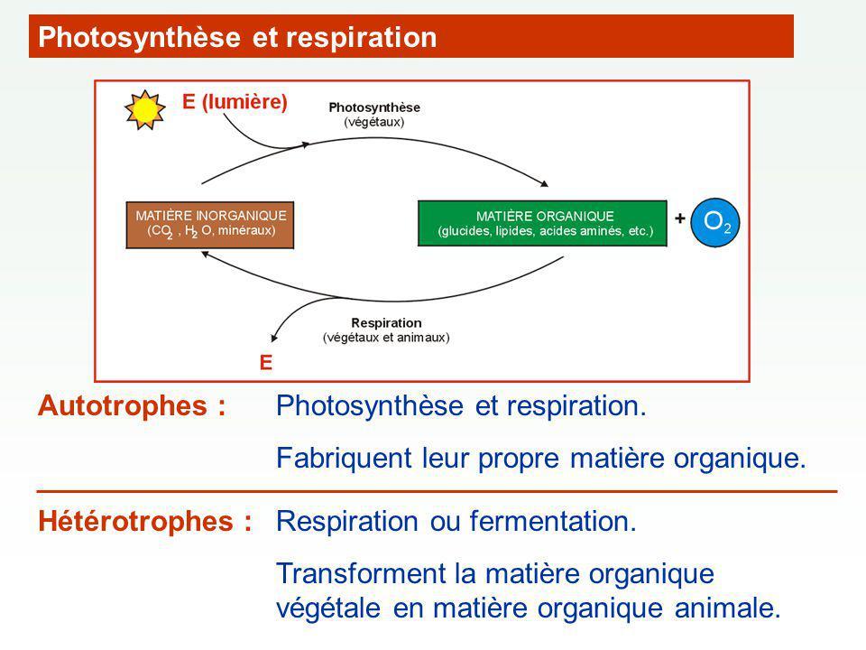 Photosynthèse et respiration Photosynthèse et respiration. Fabriquent leur propre matière organique. Autotrophes : Hétérotrophes : Respiration ou ferm