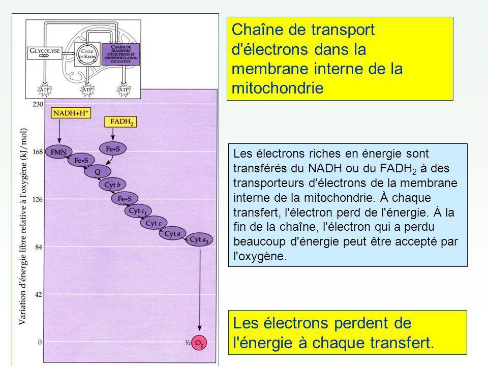 Chaîne de transport d'électrons dans la membrane interne de la mitochondrie Les électrons perdent de l'énergie à chaque transfert. Les électrons riche