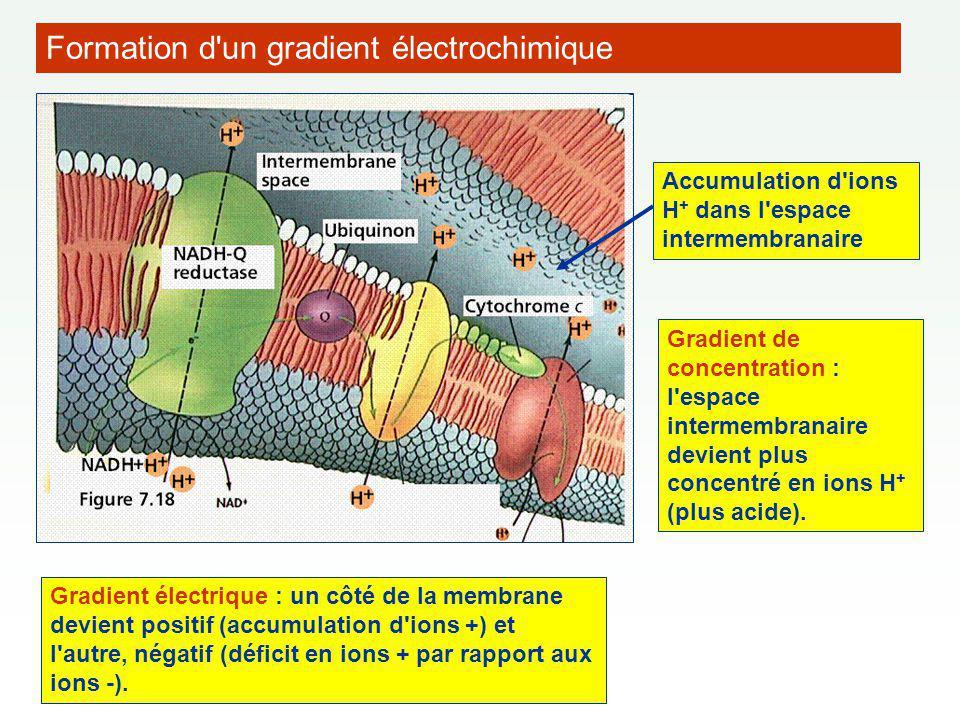 Accumulation d ions H + dans l espace intermembranaire Gradient de concentration : l espace intermembranaire devient plus concentré en ions H + (plus acide).