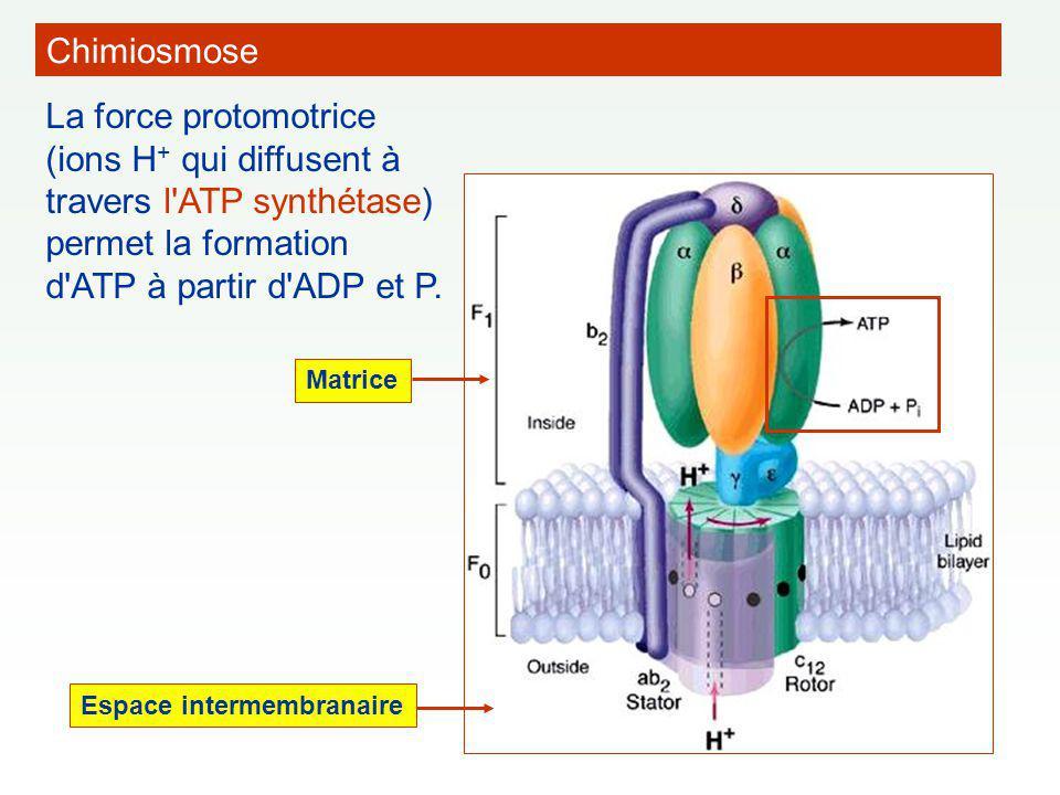 La force protomotrice (ions H + qui diffusent à travers l'ATP synthétase) permet la formation d'ATP à partir d'ADP et P. Espace intermembranaire Matri