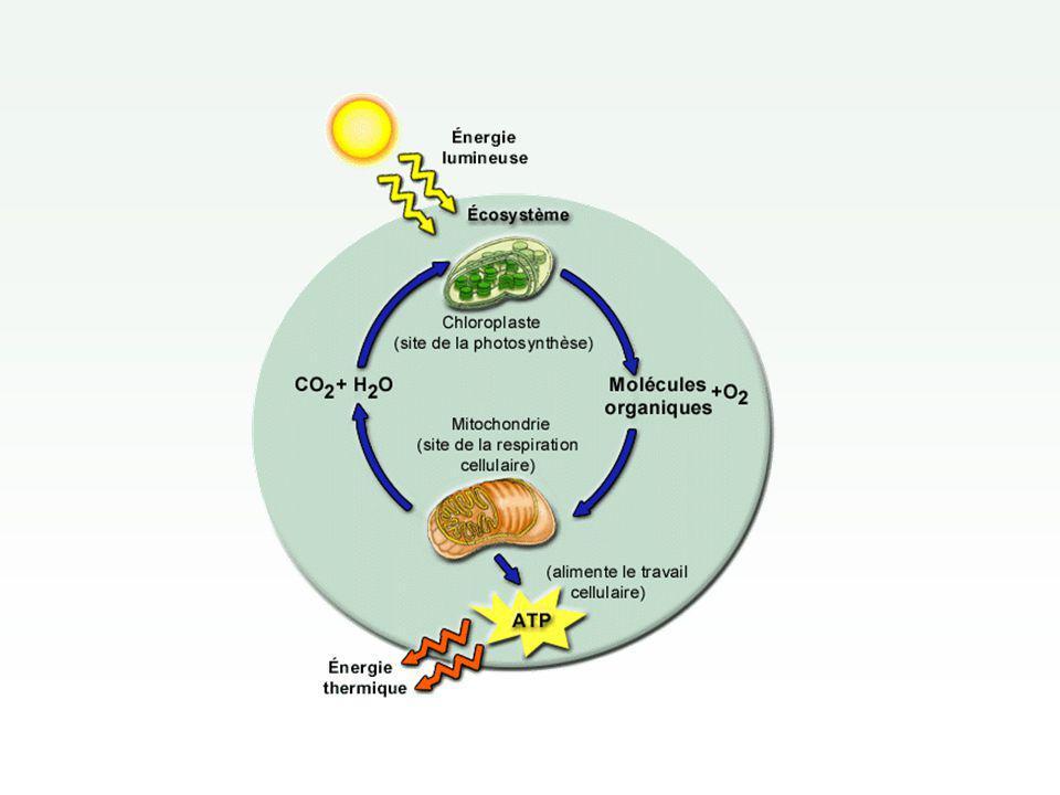 Fermentation Production d énergie sans utilisation d oxygène Produit beaucoup moins d énergie : 2 ATP par molécule de glucose contre 36 pour la respiration Plusieurs types : fermentation alcoolique, fermentation lactique, etc.