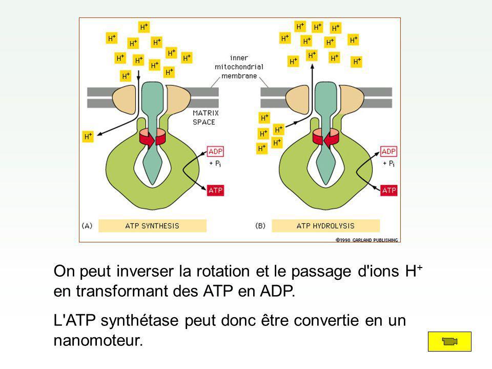 On peut inverser la rotation et le passage d'ions H + en transformant des ATP en ADP. L'ATP synthétase peut donc être convertie en un nanomoteur.