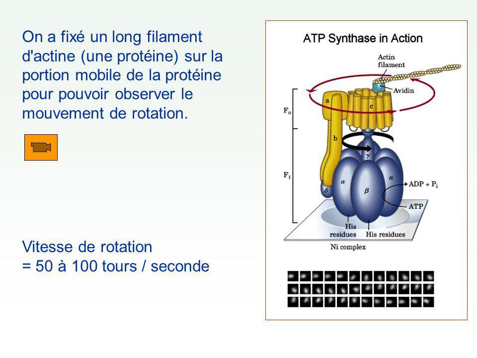 On a fixé un long filament d'actine (une protéine) sur la portion mobile de la protéine pour pouvoir observer le mouvement de rotation. Vitesse de rot
