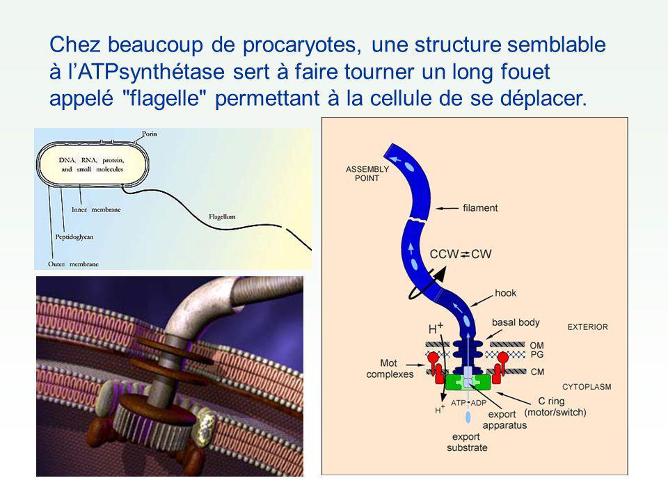 Chez beaucoup de procaryotes, une structure semblable à l'ATPsynthétase sert à faire tourner un long fouet appelé