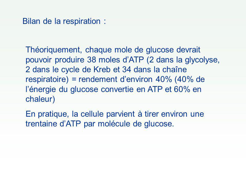 Bilan de la respiration : Théoriquement, chaque mole de glucose devrait pouvoir produire 38 moles d'ATP (2 dans la glycolyse, 2 dans le cycle de Kreb