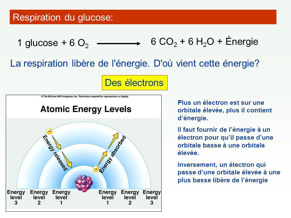 Gradient électrochimique ==> les ions H + ont tendance à diffuser vers la matrice (= force protomotrice).