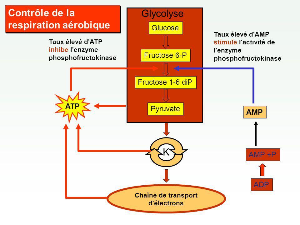 Glucose Fructose 6-P Fructose 1-6 diP Pyruvate Chaîne de transport d électrons Glycolyse K ATP Taux élevé d ATP inhibe l enzyme phosphofructokinase Taux élevé d AMP stimule l activité de l enzyme phosphofructokinase AMP ADP AMP +P Contrôle de la respiration aérobique