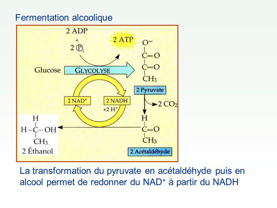 Fermentation alcoolique La transformation du pyruvate en acétaldéhyde puis en alcool permet de redonner du NAD + à partir du NADH