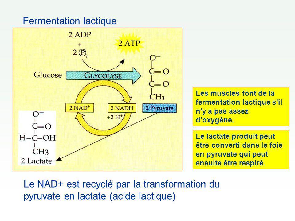Fermentation lactique Le NAD+ est recyclé par la transformation du pyruvate en lactate (acide lactique) Le lactate produit peut être converti dans le