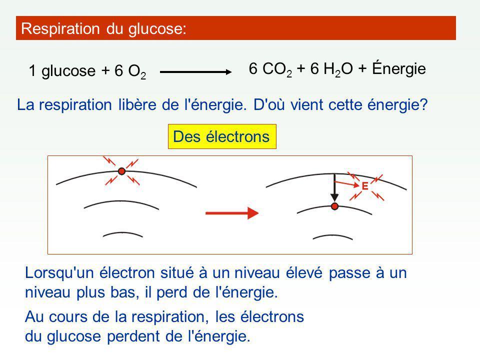 La respiration libère de l énergie.D où vient cette énergie.