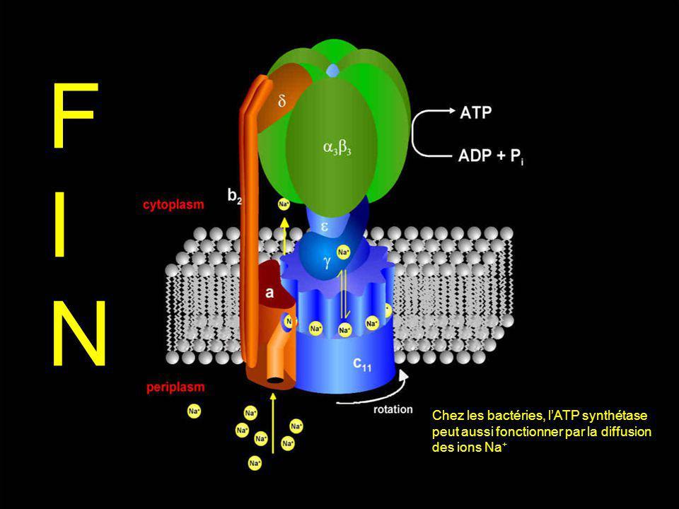FINFIN FINFIN Chez les bactéries, l'ATP synthétase peut aussi fonctionner par la diffusion des ions Na +