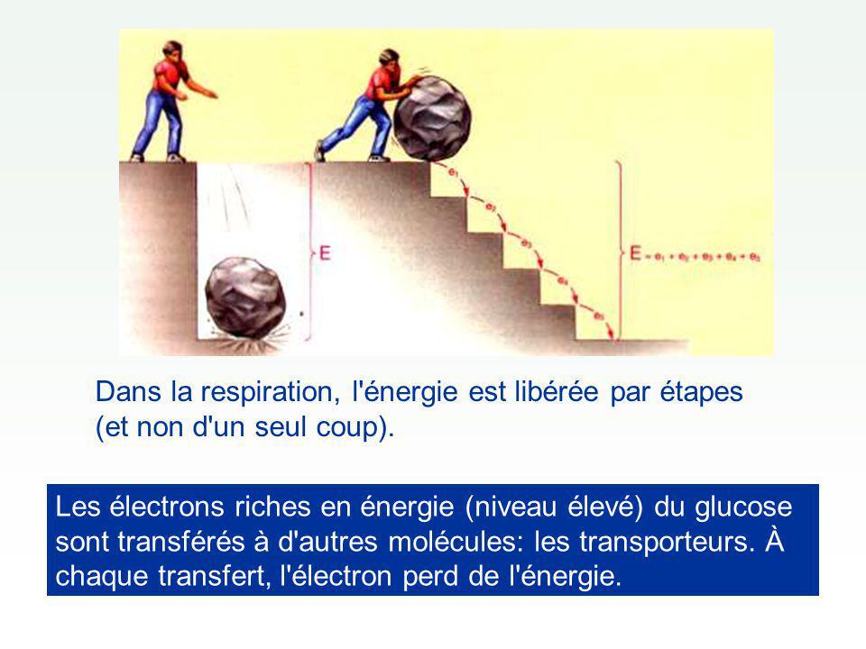Électron transféré à un transporteur Électron transféré à un autre transporteur Etc.