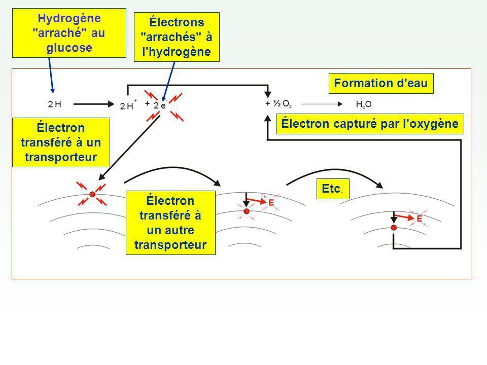 L oxygène accepte les électrons à la fin de la chaîne et se combine aux 2 H + pour former de l eau.