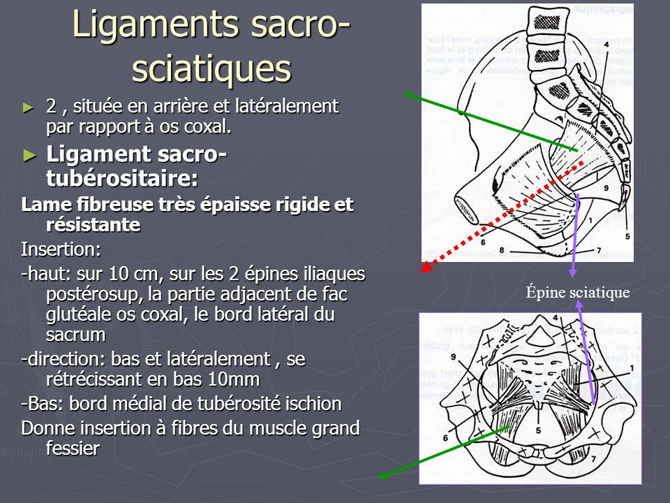 Ligaments sacro- sciatiques ► 2, située en arrière et latéralement par rapport à os coxal. ► Ligament sacro- tubérositaire: Lame fibreuse très épaisse