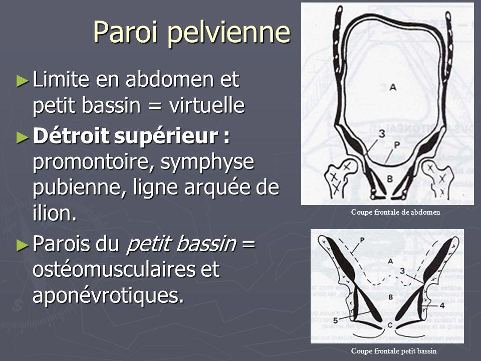 Paroi pelvienne ► Limite en abdomen et petit bassin = virtuelle ► Détroit supérieur : promontoire, symphyse pubienne, ligne arquée de ilion. ► Parois