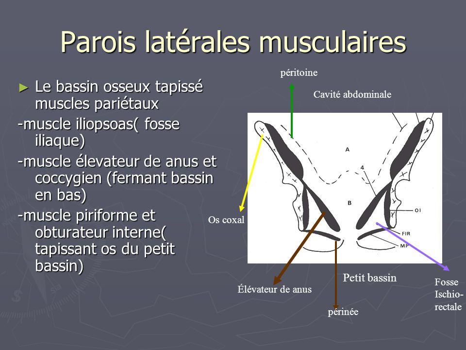 Parois latérales musculaires ► Le bassin osseux tapissé muscles pariétaux -muscle iliopsoas( fosse iliaque) -muscle élevateur de anus et coccygien (fe