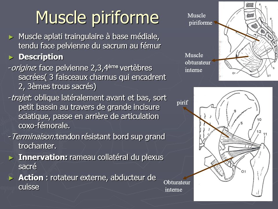 Muscle piriforme ► Muscle aplati traingulaire à base médiale, tendu face pelvienne du sacrum au fémur ► Description -origine: face pelvienne 2,3,4 ème