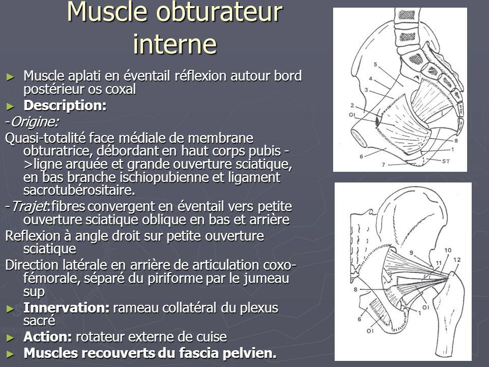 Muscle obturateur interne ► Muscle aplati en éventail réflexion autour bord postérieur os coxal ► Description: -Origine: Quasi-totalité face médiale d