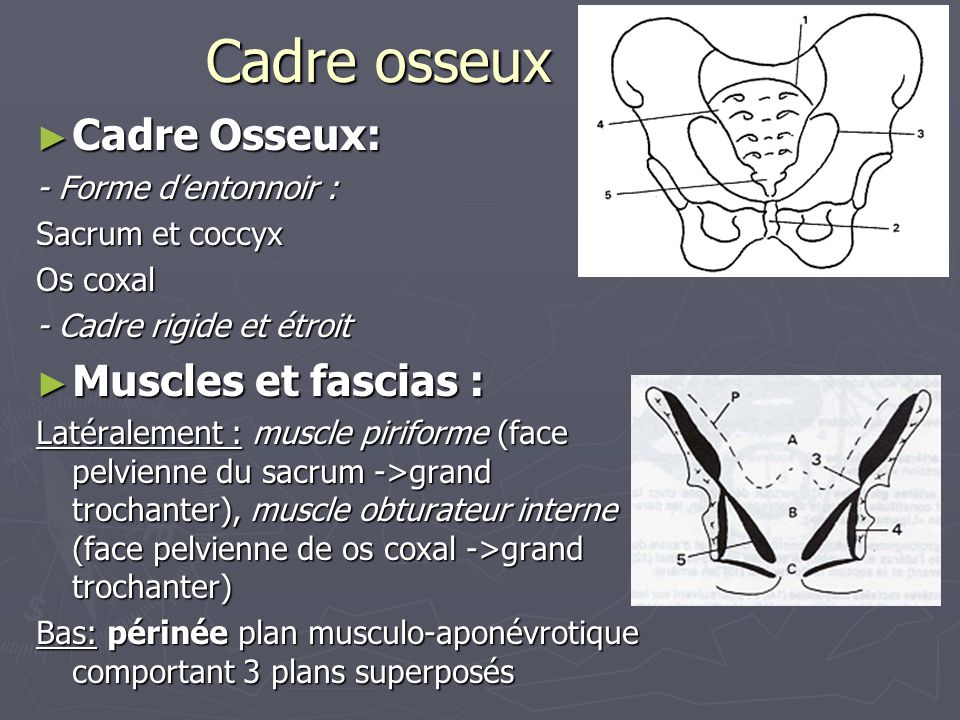 Cadre osseux ► Cadre Osseux: - Forme d'entonnoir : Sacrum et coccyx Os coxal - Cadre rigide et étroit ► Muscles et fascias : Latéralement : muscle piriforme (face pelvienne du sacrum ->grand trochanter), muscle obturateur interne (face pelvienne de os coxal ->grand trochanter) Bas: périnée plan musculo-aponévrotique comportant 3 plans superposés