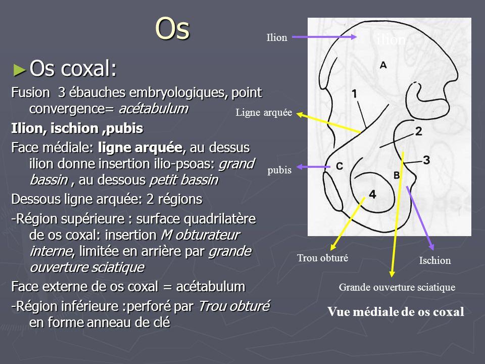 Os ► Os coxal: Fusion 3 ébauches embryologiques, point convergence= acétabulum Ilion, ischion,pubis Face médiale: ligne arquée, au dessus ilion donne