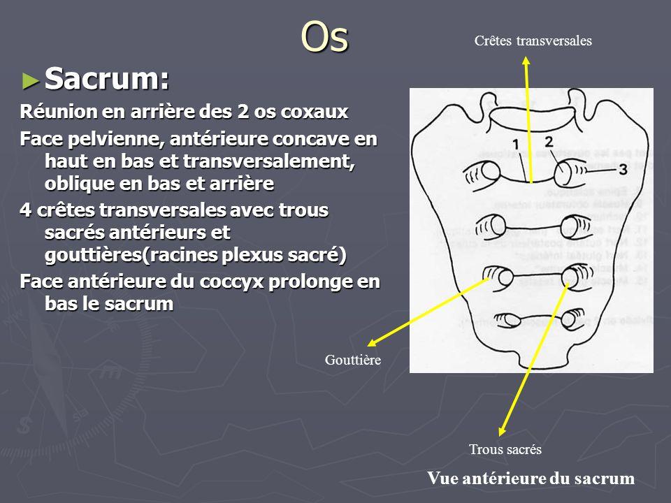 Os ► Sacrum: Réunion en arrière des 2 os coxaux Face pelvienne, antérieure concave en haut en bas et transversalement, oblique en bas et arrière 4 crê