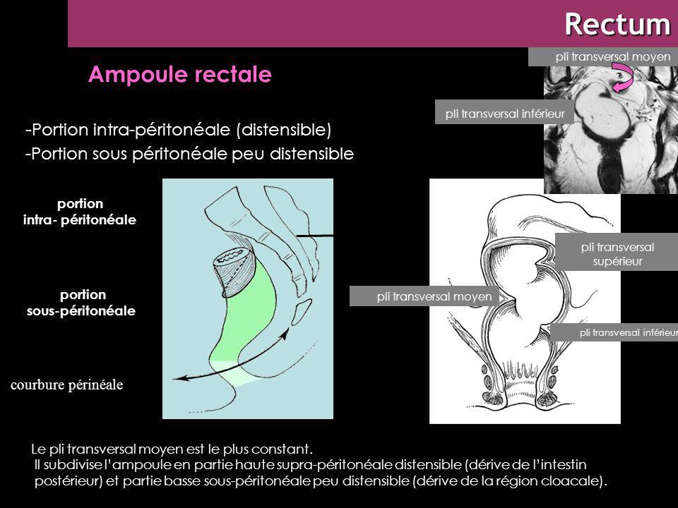 ABDOMEN rectum Rectum : morphologie externe - Portion intra-péritonéale (distensible) -Portion sous péritonéale peu distensible portion intra- périton