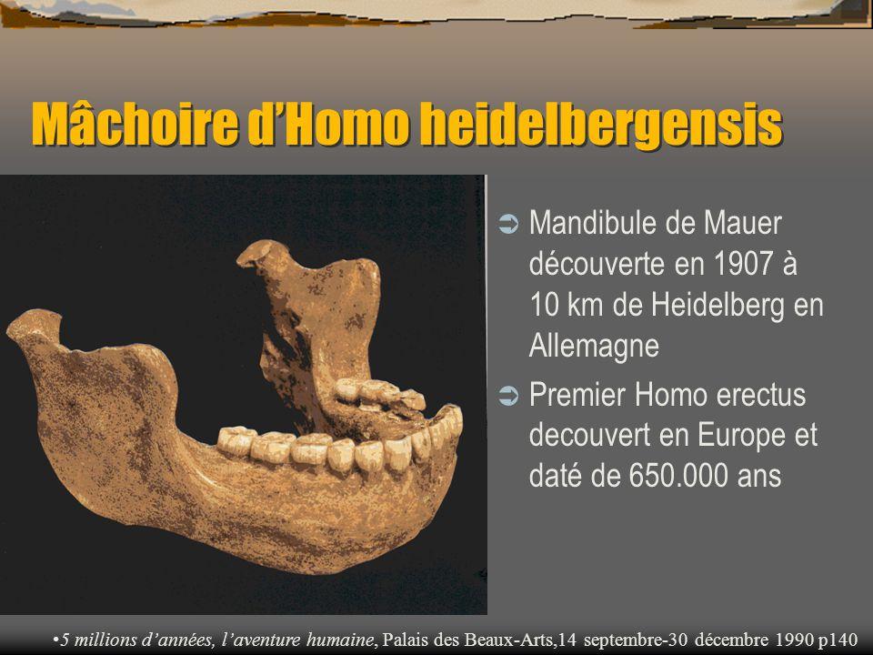 Mâchoire d'Homo heidelbergensis  Mandibule de Mauer découverte en 1907 à 10 km de Heidelberg en Allemagne  Premier Homo erectus decouvert en Europe