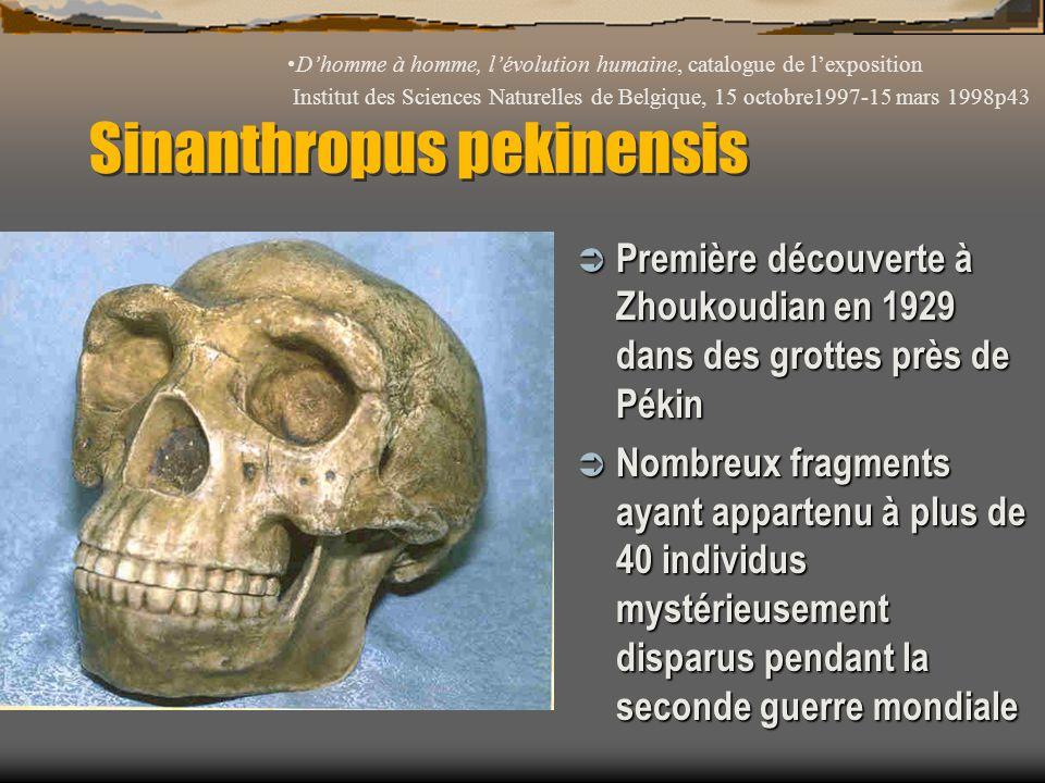 Sinanthropus pekinensis  Première découverte à Zhoukoudian en 1929 dans des grottes près de Pékin  Nombreux fragments ayant appartenu à plus de 40 i