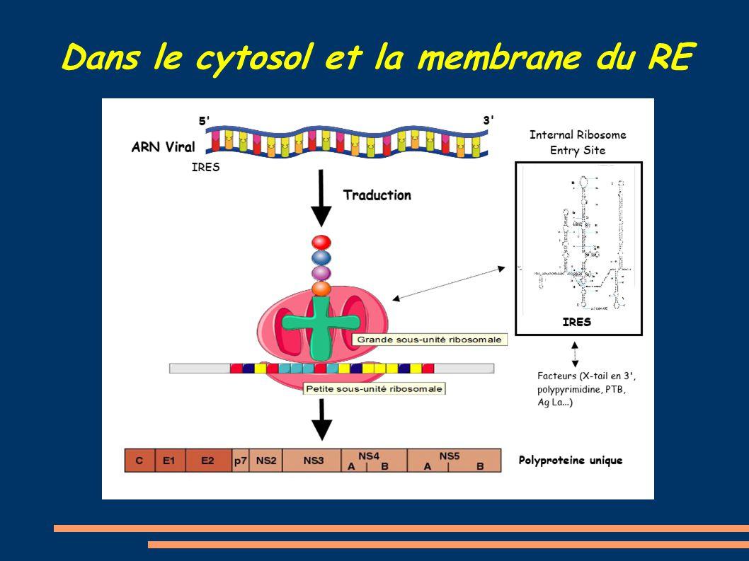 Dans le cytosol et la membrane du RE