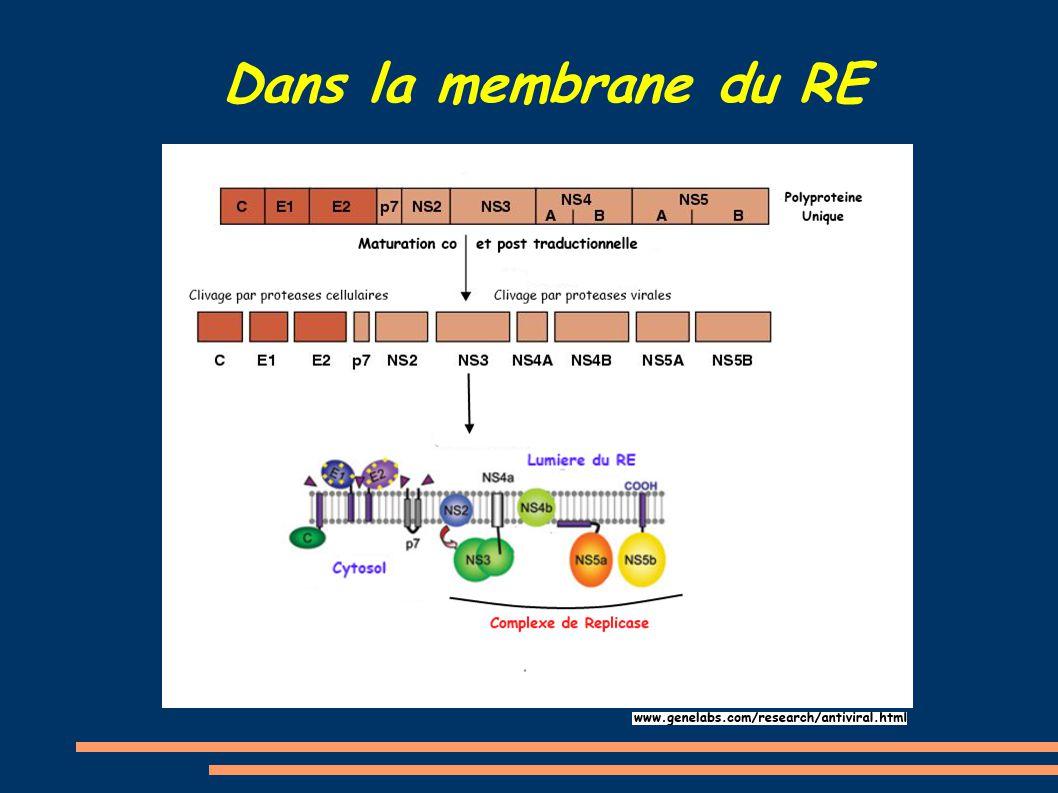 Dans la membrane du RE