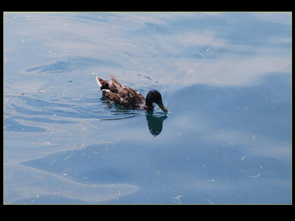 La nouvelle famille canard au lac d'Iseo