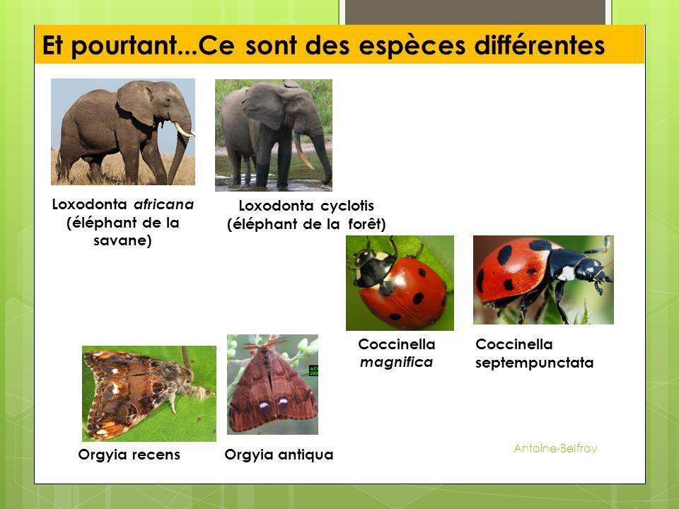 Et pourtant...Ce sont des espèces différentes Coccinella magnifica Loxodonta africana (éléphant de la savane) Orgyia recens Orgyia antiqua Loxodonta c
