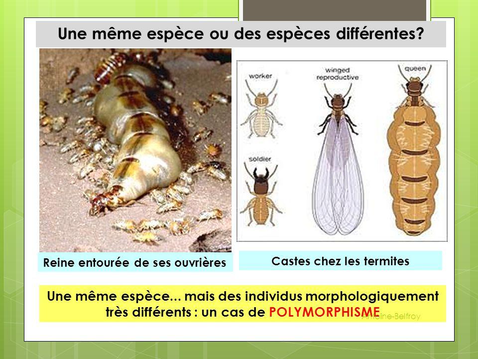 Une même espèce ou des espèces différentes? Reine entourée de ses ouvrières Castes chez les termites Une même espèce... mais des individus morphologiq