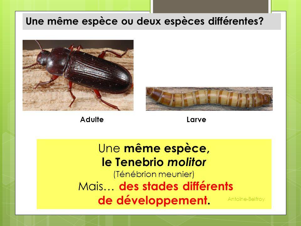 Une même espèce ou deux espèces différentes? Une même espèce, le Tenebrio molitor (Ténébrion meunier) Mais… des stades différents de développement. La