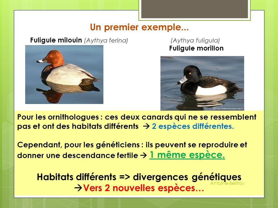 Un premier exemple... Fuligule milouin (Aythya ferina) (Aythya fuligula) Fuligule morillon Pour les ornithologues : ces deux canards qui ne se ressemb