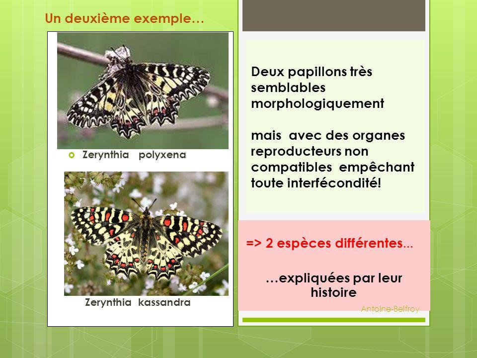  Zerynthia polyxena  Zery Zerynthia kassandra Deux papillons très semblables morphologiquement mais avec des organes reproducteurs non compatibles e