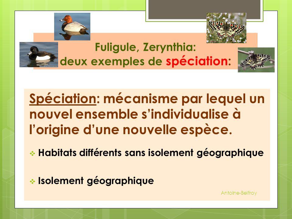 Fuligule, Zerynthia: deux exemples de spéciation: Spéciation: mécanisme par lequel un nouvel ensemble s'individualise à l'origine d'une nouvelle espèc