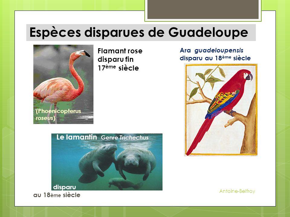 Espèces disparues de Guadeloupe Le lamantin Genre Trichechus disparu au 18 ème siècle Flamant rose disparu fin 17 ème siècle (Phoenicopterus roseus )