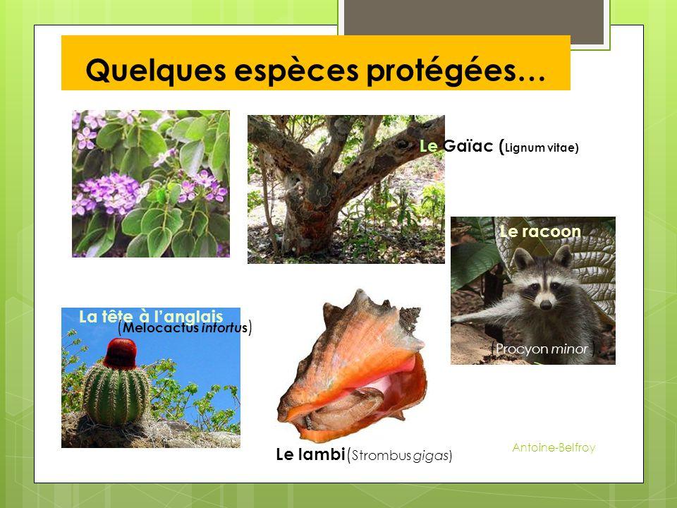 Quelques espèces protégées… Le Gaïac ( Lignum vitae) La tête à l'anglais Le lambi ( Strombus gigas) Le racoon ( Melocactus intortu s ) ( Procyon minor